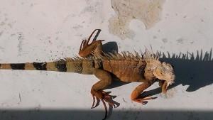 Iguana the first_2