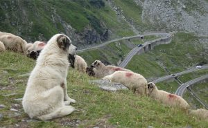 Sheepdog-sheep-switchbacks-Romania-YM