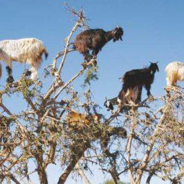Tree-Climbing Goats!